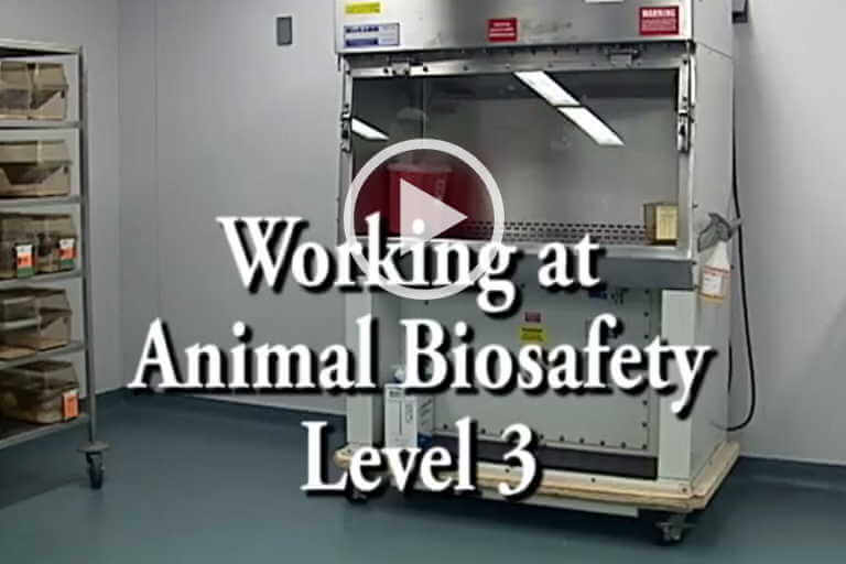 Working at Animal Biosafety Level 3
