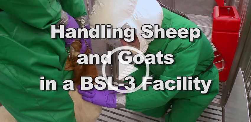 Handling Sheep and Goats at a BSL-3 Facility